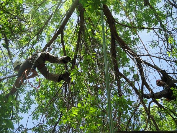 Thinning-tree